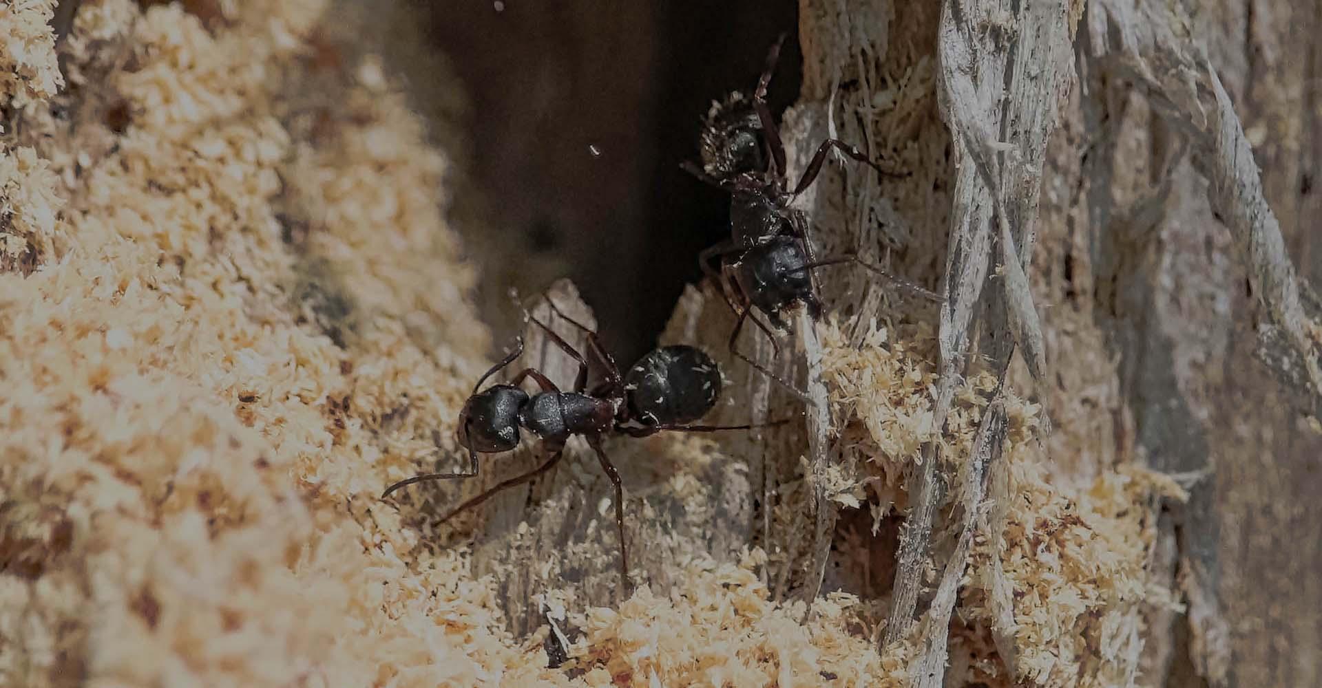Carpenter Ant Removal